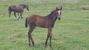 MONGOLIAN FALCON filly out of MABSAN dam of FESTIVITY